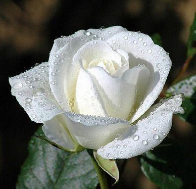 What is the meaning and purpose of white roses wintery knight what do white roses mean mightylinksfo