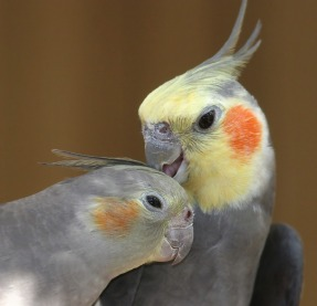 Male normal gray cockatiel preens his wife's crest