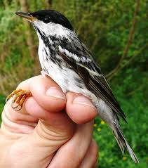 Blackpoll Warbler- so tiny and so cute!