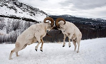 Two Rams butting heads: may the best ram win!