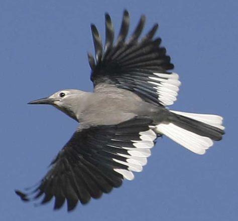 "This gorgeous birdy is ""The Clark's Nutcracker"""