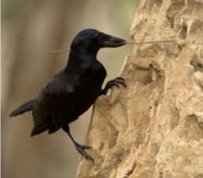 Crow using a tool he made to hunt for bugs