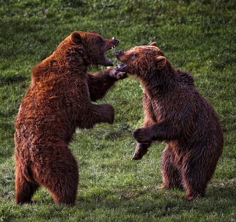 Two bears fight it out, and may the best bear win!